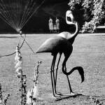 Flamingos 1959