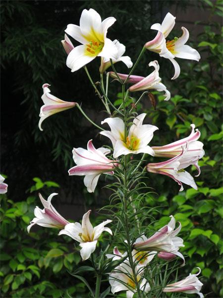 Königslilie
