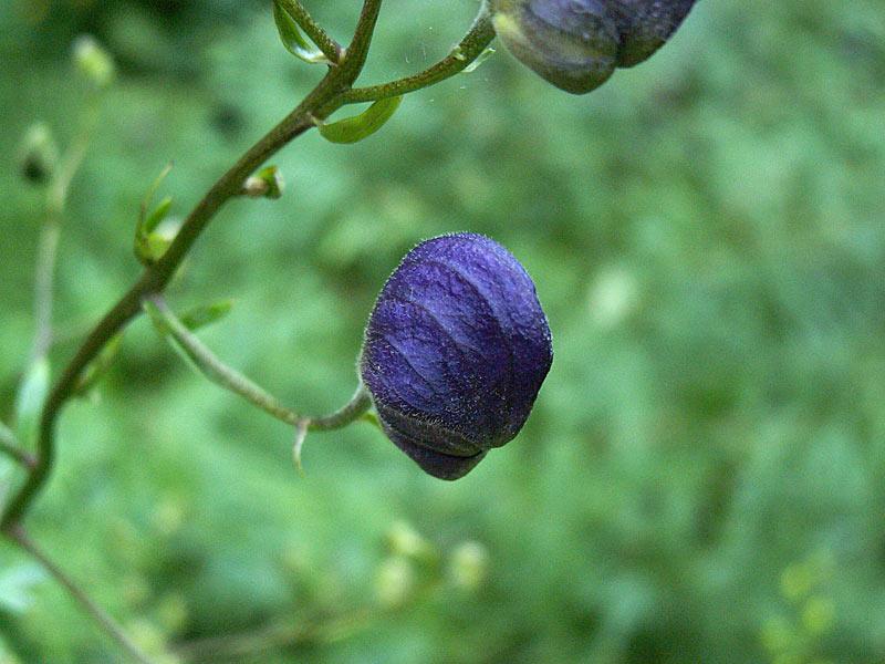 Eisenhut-Bluete
