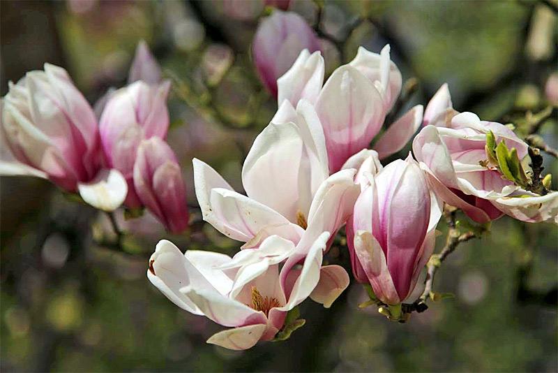 Tulpne-Magnolie