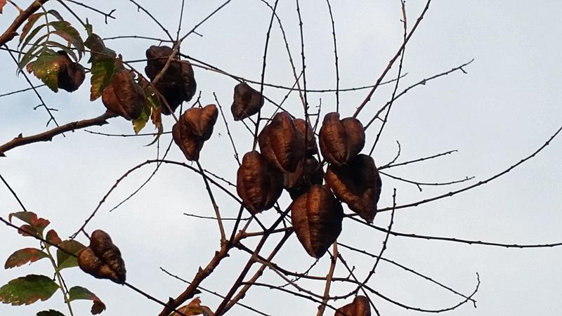blasenbaum-fruechte