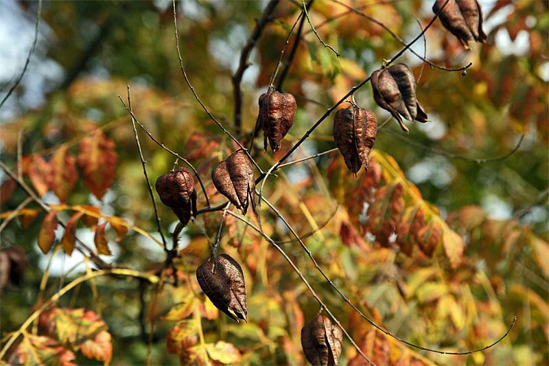 blasenbaum-lampions