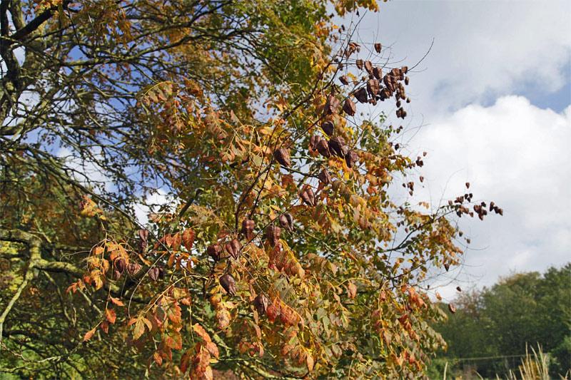 blasenbaum-zweige