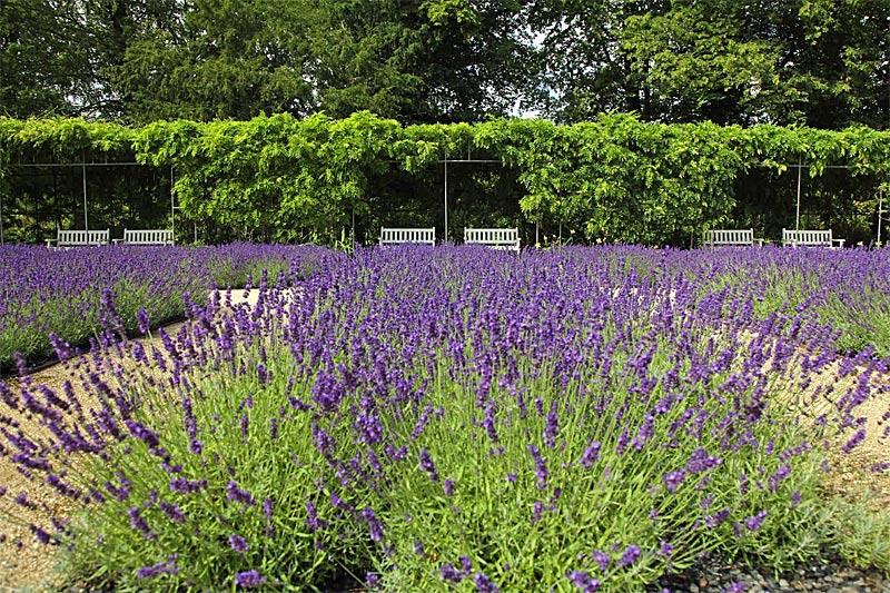 Echter Lavendel im Lavendelgarten Gütersloh