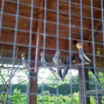 Vogelvoliere - Nymphensittiche