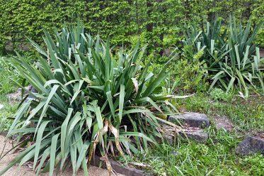 Fädige Palmlilie - Yucca filamentosa