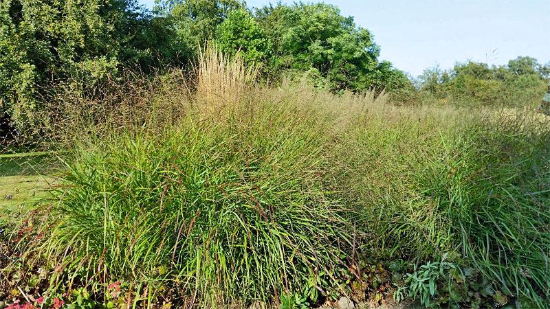 Rutenhirse-Rotstrahlbusch