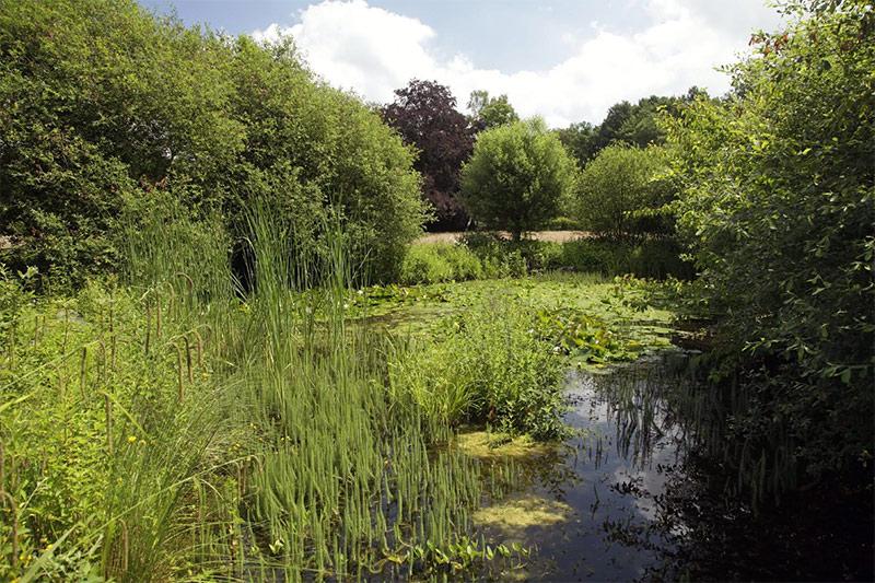 Tannenwedel im Naturnahen Teich
