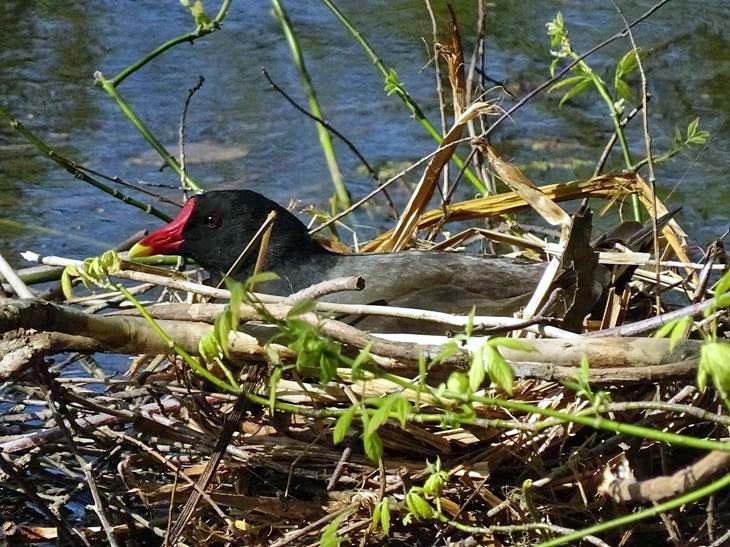 Wasservögel: Teichralle