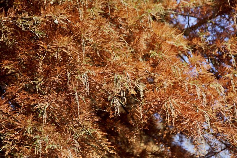 urweltmammutbaum-nadeln