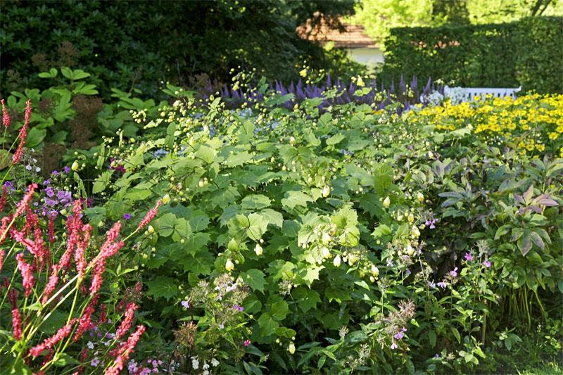 wachsglockenblume-beet