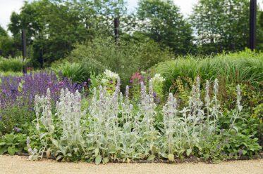 Woll-Ziest im Botanischen Garten Gütersloh