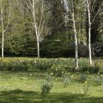 Birken im Stadtpark Gütersloh