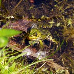 Frösche - Wasserfrosch
