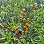 Ovale Kumquat
