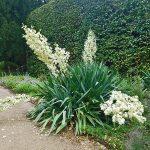 Fädrige Palmlilie - Yucca - Blüte