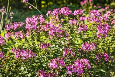 Spinnenblume im Botanischen Garten Gütersloh
