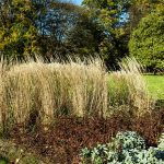 Garten-Reitgras im Botanischen Garten Gütersloh