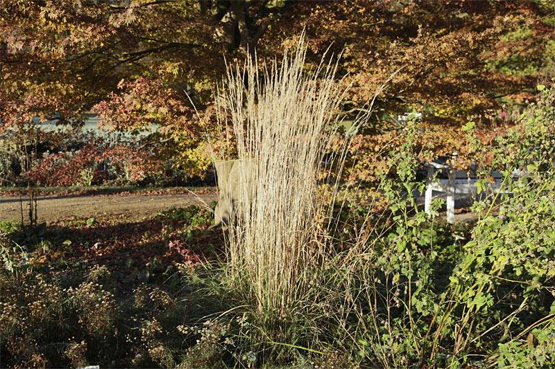 Garten-Reitgras