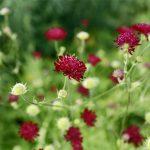 Mazedonische Witwenblume