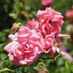 Rosa Fassadenzauber Rose