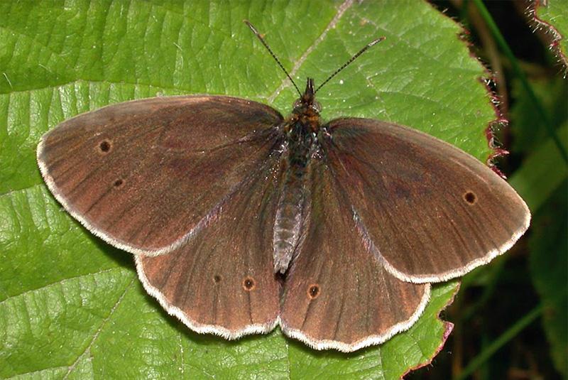Schornsteinfeger Schmetterling