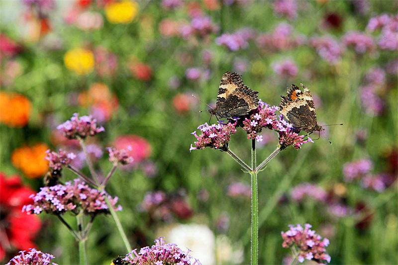 Schmetterling auf Patagonischem Eisenkraut