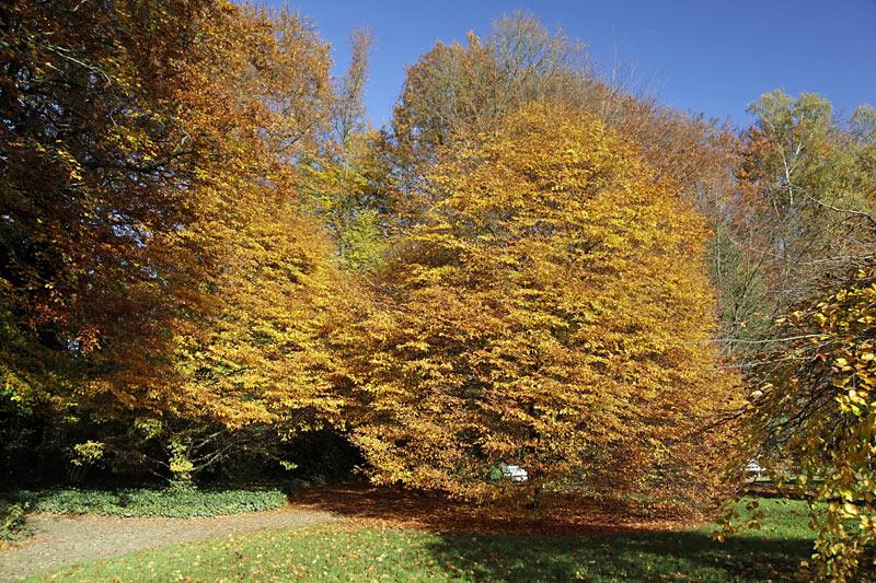 Farnblättrige Buche im Botanischen Garten Gütersloh