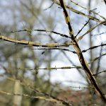 Flügel-Spindelstrauch