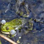 Amphibien - Teichfrosch