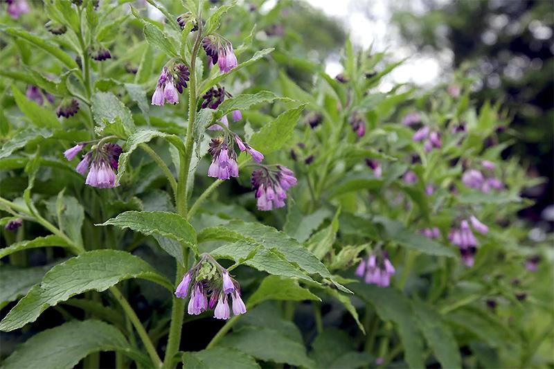 Beinwell-Blüte