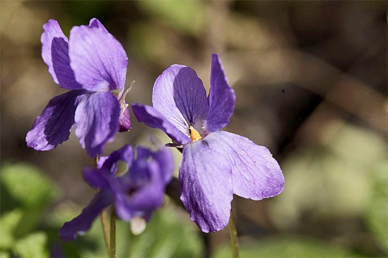Duftveilchen Blüte