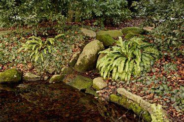 Gewellte Hirschzunge im Botanischen Garten Gütersloh
