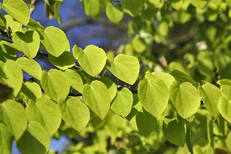 Lebkuchenbaum Blätter