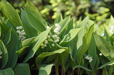 Maiglöckchen Blüte