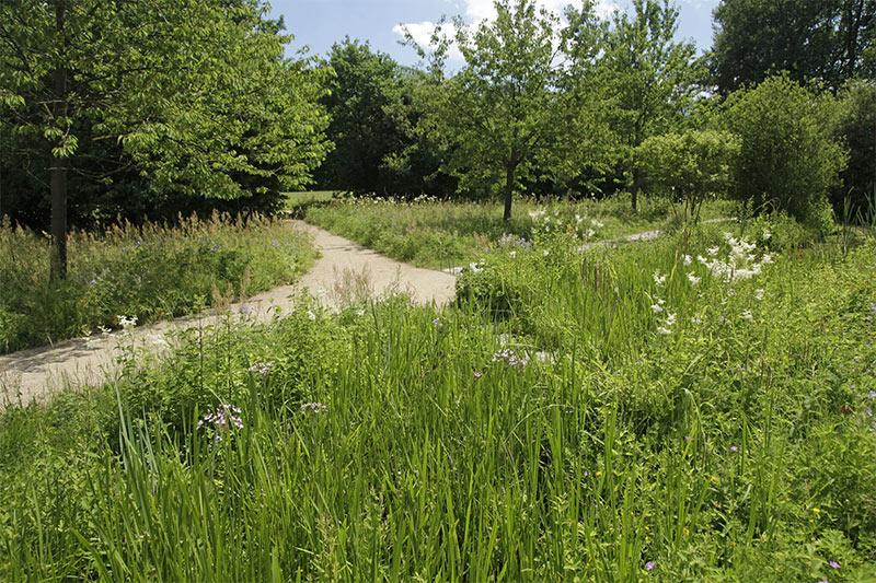 Schwanenblumen im Naturnahen Garten