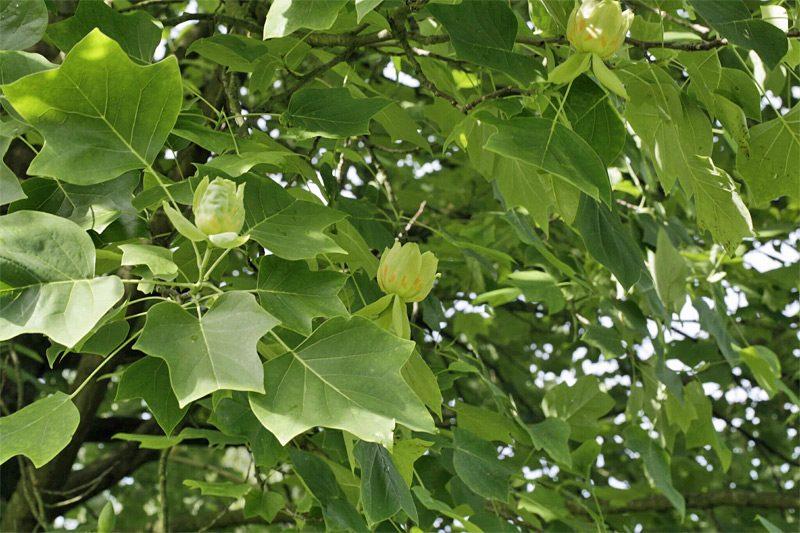 Laub des Tulpenbaums