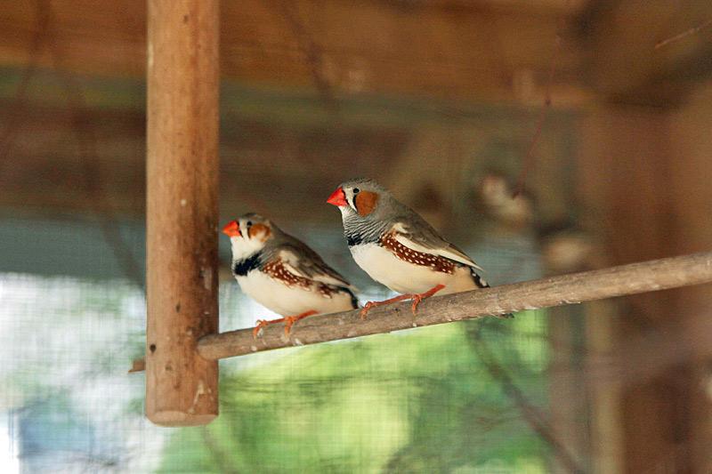 Zebrafinken in der Vogelvoliere